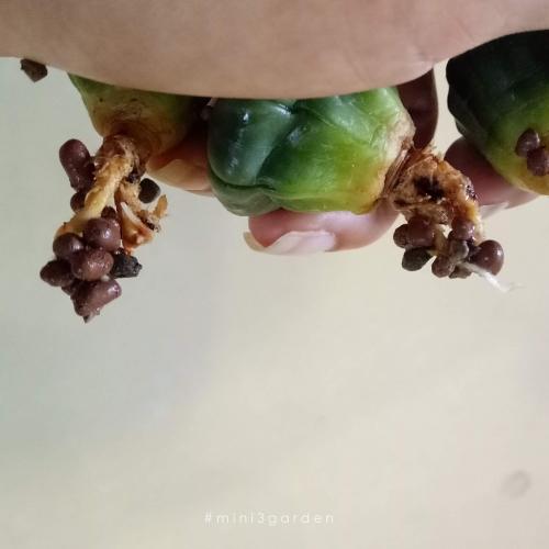 cactus-sick7