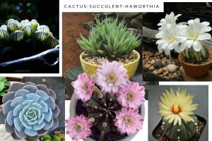 cactus_succulent_harowthia