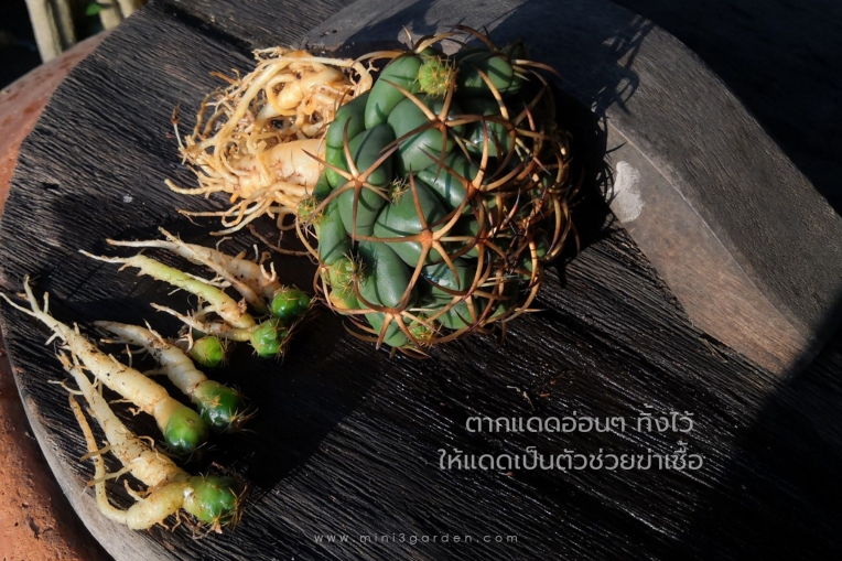 cactus_care444