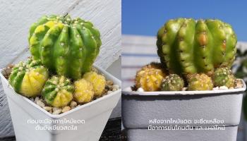 cactus pierderea de greutate premium