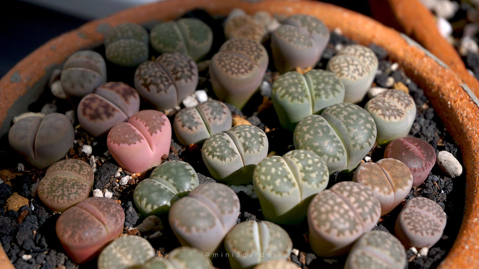 how-to-lithops-care-2.jpg