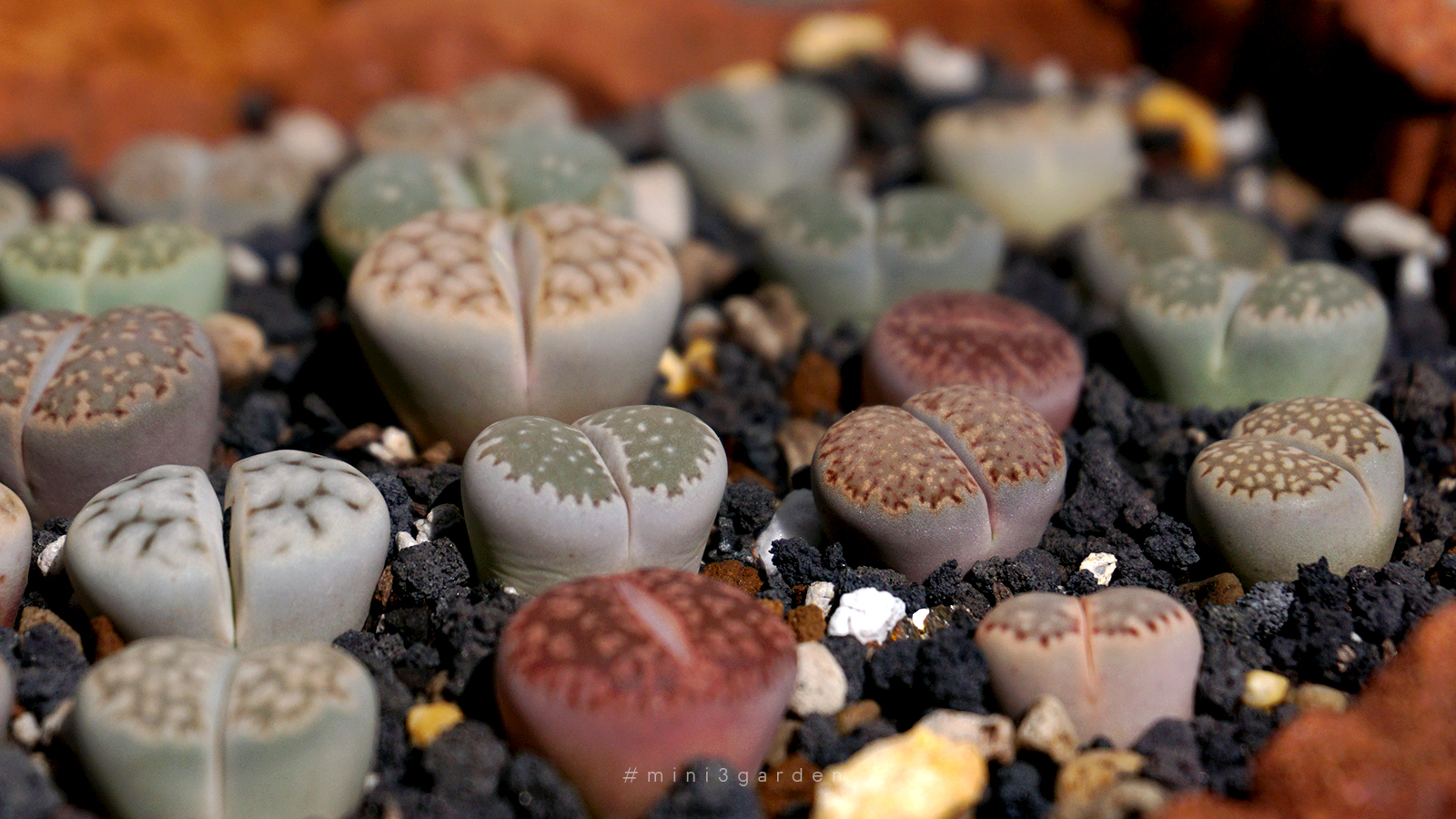 how-to-lithops-care-3.jpg