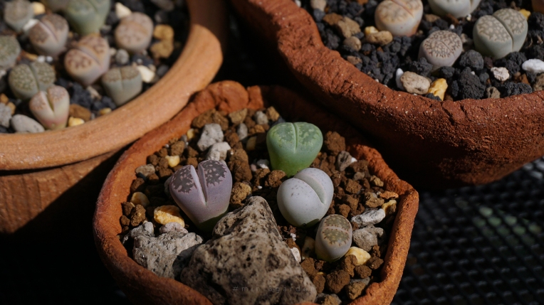 how-to-lithops-care-4.jpg
