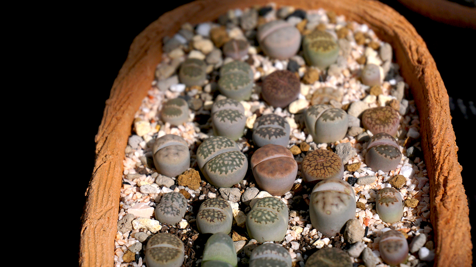 how-to-lithops-care-5.jpg